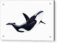 Orca - Killer Whale Acrylic Print by Michael Vigliotti