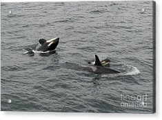 Acrylic Print featuring the photograph Orca Mamas In The Wild - Together Forever by Gayle Swigart