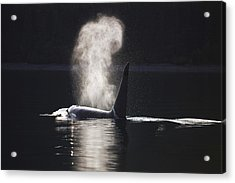Orca Whale Surfaces Along A Forested Acrylic Print by John Hyde