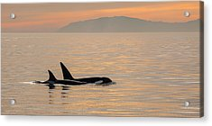 Orcas Off The California Coast Acrylic Print by Cliff Wassmann
