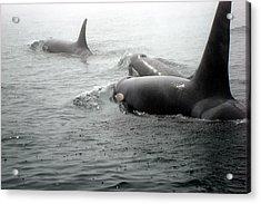 Orcas Acrylic Print