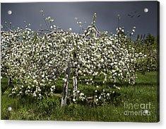 Orchard Acrylic Print by Karin Pinkham
