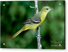 Orchard Oriole Icterus Spurius Female Acrylic Print by Anthony Mercieca