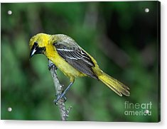 Orchard Oriole Icterus Spurius Juvenile Acrylic Print by Anthony Mercieca