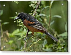 Orchard Oriole Male Acrylic Print