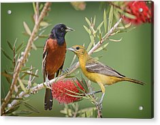 Orchard Oriole Pair Acrylic Print by Bonnie Barry