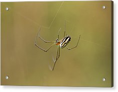 Orchard Spider Acrylic Print by Greg Allore