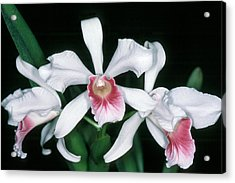 Orchid 10 Acrylic Print
