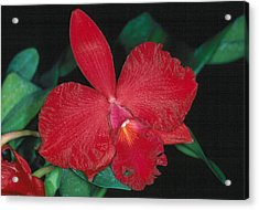 Orchid 12 Acrylic Print
