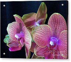 Orchid 2 Acrylic Print by Judy Via-Wolff