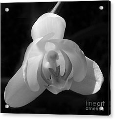 Orchid #2 Acrylic Print