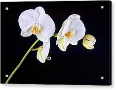Orchid 2a Acrylic Print by Mauro Celotti