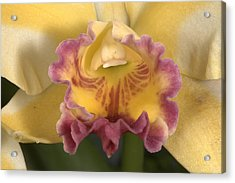 Orchid 478 Acrylic Print