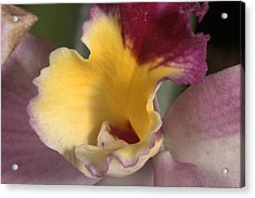 Orchid 489 Acrylic Print