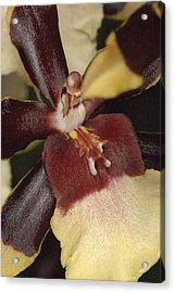 Orchid 496 Acrylic Print