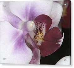 Orchid 503 Acrylic Print