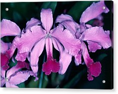 Orchid 6 Acrylic Print