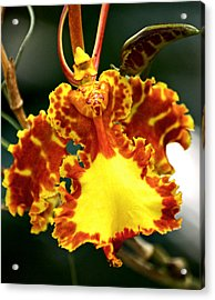 Orchid Acrylic Print by Andrew Chianese