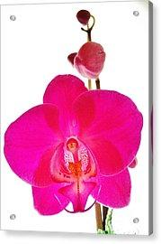 Orchid Angel 1 Acrylic Print
