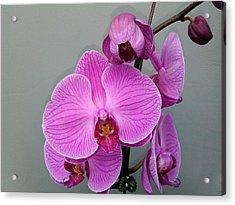 Orchid Beauty Acrylic Print by Jo-Ann Hayden
