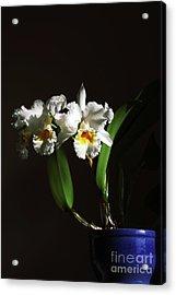 Orchid Cattleya Bow Bells Acrylic Print by Charline Xia