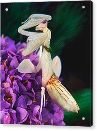 Orchid Female Mantis  Hymenopus Coronatus  9 Of 10 Acrylic Print by Leslie Crotty