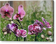 Orchid Field Acrylic Print by Paula Rountree Bischoff