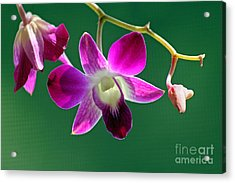 Orchid Flower Acrylic Print by Karen Adams