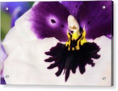 Orchid Labellum (miltoniopsis Sp.) Hybrid Acrylic Print by Maria Mosolova/science Photo Library