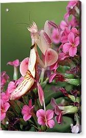 Orchid Mantid Hymenopus Coronatus Acrylic Print by Robert Jensen