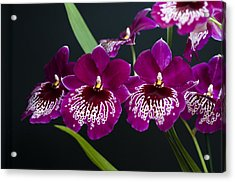 Orchid Miltonia Acrylic Print by Lana Enderle