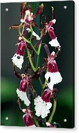 Orchid (oncidium Samurai) Acrylic Print by Sam K Tran/science Photo Library