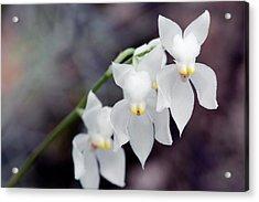 Orchid (osmoglossum Pulchellum) Acrylic Print by Sam K Tran/science Photo Library
