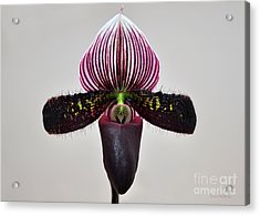 Orchid Paphiopedilum Satchel Paige X Black Beauty Acrylic Print