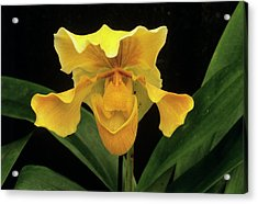 Orchid (paph.sp.) Acrylic Print by Sally Mccrae Kuyper/science Photo Library