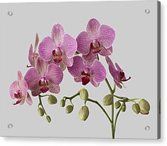 Orchid Plant On Grey Background Acrylic Print by William Turner