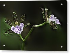 Acrylic Print featuring the photograph Orchid by Ram Vasudev