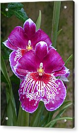Acrylic Print featuring the photograph Orchid Twins by Cindy McDaniel