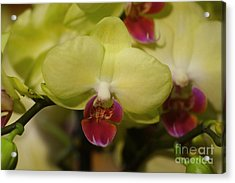 Orchids 181 Acrylic Print