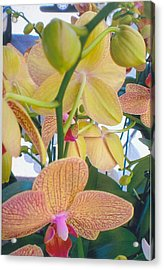 Orchids And Buds Acrylic Print