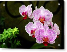 Orchids And Ivy Acrylic Print