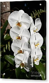 Orchids Anna Acrylic Print by The Art of Alice Terrill