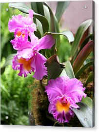 Orchids At The Washington Botanical Acrylic Print by Carol Kinkead