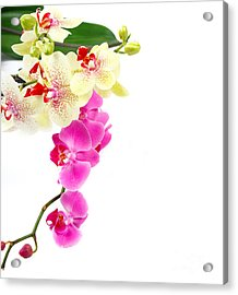 Orchids Acrylic Print by Boon Mee