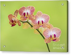 Orchids Acrylic Print by Diane Diederich