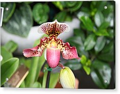 Orchids - Us Botanic Garden - 011332 Acrylic Print by DC Photographer