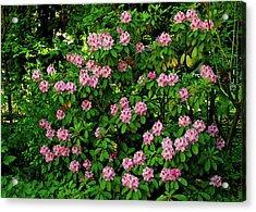 Oregon Azaleas Acrylic Print