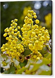 Acrylic Print featuring the photograph Oregon Grape Blossoms by Todd Kreuter