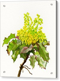 Oregon Grape White Background Acrylic Print by Sharon Freeman