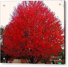 Oregon Red Maple Beauty Acrylic Print by Kim Petitt